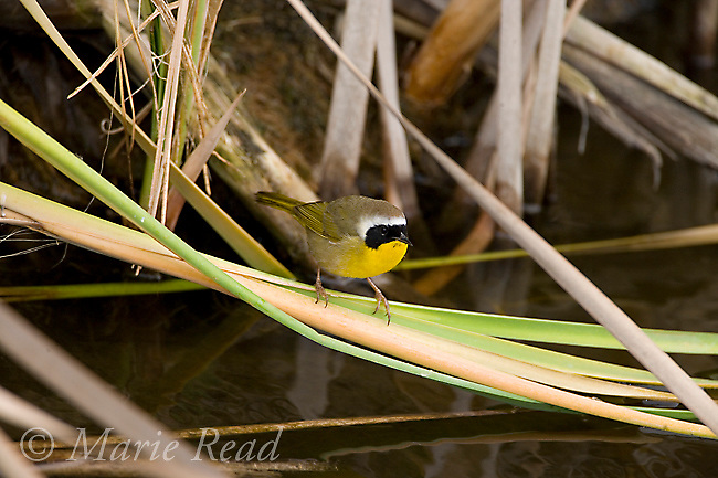 Common Yellowthroat (Geothlypis trichas) male at water's edge in cattail marsh, Upper Newport Bay, California, USA