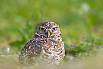 Burrowing Owl, Florida