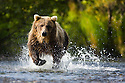 Alaska, Katmai Peninsula; Brown bear (Ursus arctos) trying to catch salmon in creek during salmon run in fall