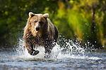 Alaska, Katmai Peninsula; Brown bear (Ursus arctos) trying to catch salmon in creek during salmon run in fall