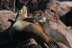 California sea lions, nursing pup, Baja California