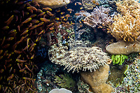 Golden sweepers, Parapriacanthus ransonneti, surround a Tassled wobbegong, Eucrossorhinus dasypogon, which lies in a hole on a coral reef near Misool, Raja Ampat, Papua, Indonesia, Pacific Ocean