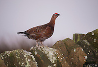 Red grouse cock on a stone wall on Longridge Fell, Longridge, Lancashire.