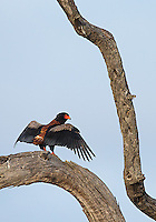 A bateleur eagle stretching its wings in Kruger National Park.