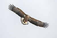 Aquila nipalensis<br />