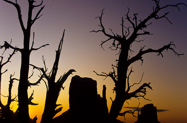 A silhouette of a Unique sunset shot of The Mittens mesas through a junipher tree in the Monument Valley National Park and navaho Indian reservation, Utah, USA