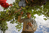 "erath  160436 8/30/09- Workers harvest grapes in Dick Erath's (CQ) Cimarron Vineyeard (CQ) near Wilcox sampeling grapes to see if they are ready for harvest. When Dick Erath sold his namesake Oregon winery, he thought he was going to retire quietly to the desert in southern Arizona. After all, starting Oregon's wine industry should have been enough for one man. But he couldn't help himself. He planted a few vines in his backyard for fun. ""I had to do something besides play golf,"" he said. Then he started studying the terrain and soil around southeast Arizona and became convinced his new home provided one of the best climates for grape growing on the planet.. (Pat Shannahan/ The Arizona Republic)"