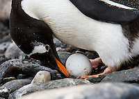 A Gentoo Penguin cares for its egg at Point Wild, Elephant Island, Antarctic Peninsula