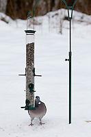 Ringeltaube, Ringel-Taube, Ringel - Taube, an der Vogelfütterung, Fütterung im Winter bei Schnee, frisst Körner aus einem Futtersilo, Futterspender, Vogelhäuschen, Winterfütterung, Columba palumbus, Wood Pigeon, woodpigeon, Pigeon ramier