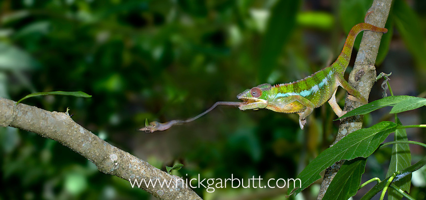 Male Panther Chameleon (Furcifer pardalis) catching insect prey. Ankarana Reserve, northern Madagascar.