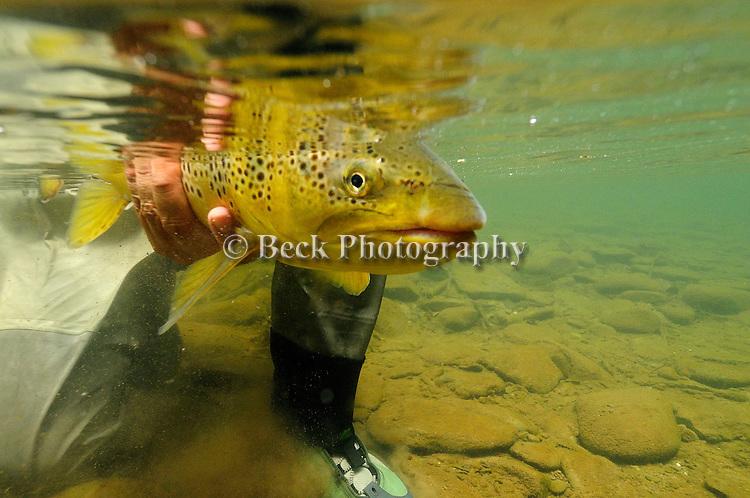 Underwater brown trout 09