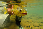 Underwater brown trout 09