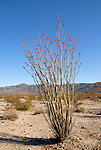 Blooming ocotillo near Pinto Basin in Joshua Tree National Park