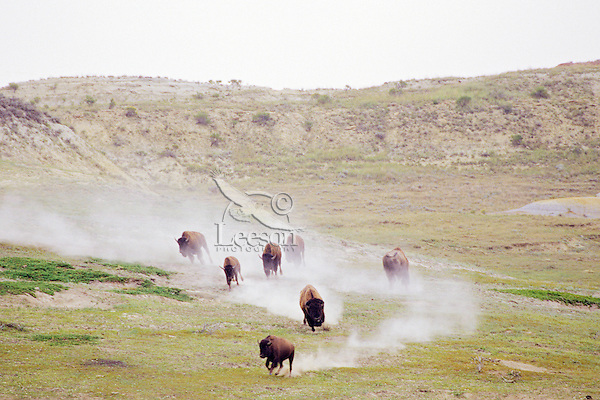Bison running across dry badland area.  Western U.S., summer.