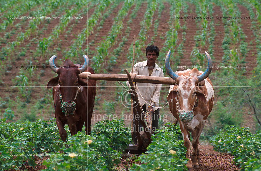 INDIA Madhya Pradesh, biore organic cotton project, weeding with cattle at organic cotton farm / INDIEN, biore Biobaumwolle Projekt, Unkraut jaeten mit Ochsengespann im Narmada Tal