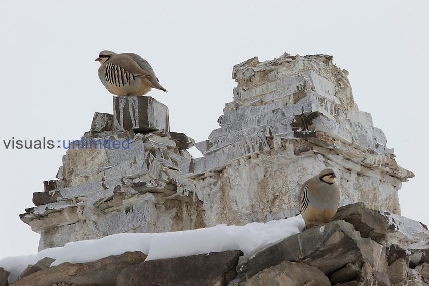 Chukar Partridge (Alectoris chukar), Hemis National Park, Himalayas, India