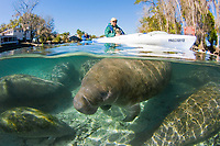 Florida Manatee, Trichechus manatus latirostris, A subspecies of the West Indian Manatee. Kayakers observe manatees in their natural habitat near the Three Sisters Springs. Crystal River, Florida. No MR