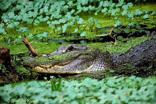 1R16-026z  American Alligator - Alligator mississippiensis