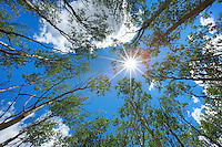 Looking straight up on a sunny summer afternoon in an aspen grove, this is the view you'll have. I think aspen are my favorite tree in Colorado.