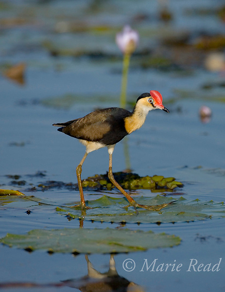 Comb-crested Jacana (Irediparra gallinacea), adult, Yellow Water, Kakadu National Park, Northern Territory, Australia