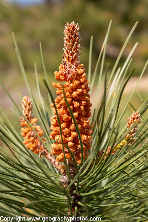 Cone bud of Maritime Pine tree, Pinus pinaster, Algarve, Portugal in March