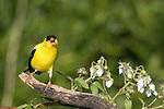 American goldfinch - male