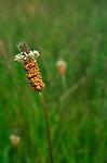 A073KT English Plantain Plantago lanceolata or Ribwort