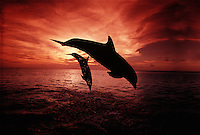 A pair of Atlantic Bottlenose Dolphin, Tursiops truncatus, leap into a Caribbean sunset, Roatan, Honduras.