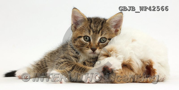 Kim, ANIMALS, REALISTISCHE TIERE, ANIMALES REALISTICOS, fondless, photos,+Tabby kitten lounging on sleepy Cockapoo puppy,++++,GBJBWP42566,#a#