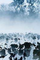 Lily pads in water on foggy morning in Burnsville, Minnesota, USA.