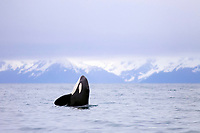 killer whale or orca, Orcinus orca, spyhopping, with snow covered mountains in background, Kenai Fjords National Park, Alaska, USA, Resurrection Bay, aka Blying Sound and Harding Gateway, Pacific Ocean