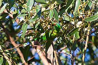 Scaly Breasted Lorikeet, Nelson Bay, NSW, Australia