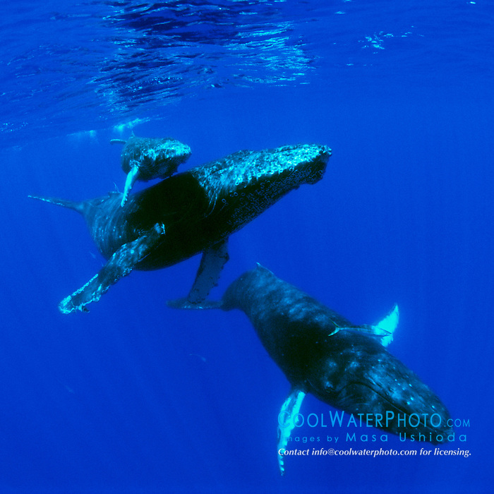 Humpback Whales, mother, calf, and escort, Megaptera novaeangliae, Hawaii, Pacific Ocean