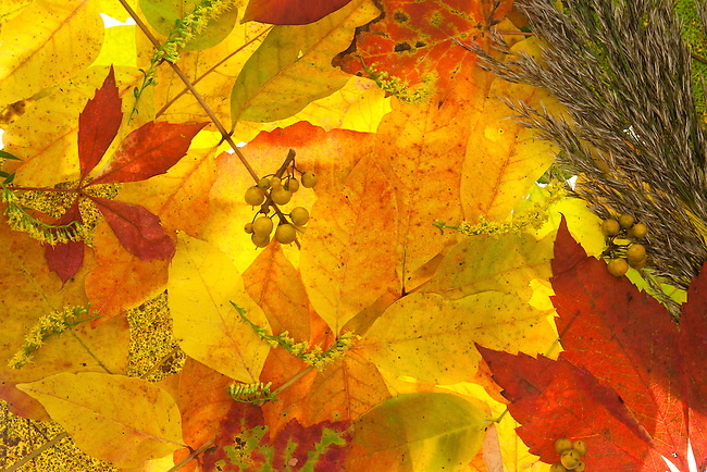 A composition of illuminated fall leaves, berries and flowers, picked from the floor of a forest in New England, USA.