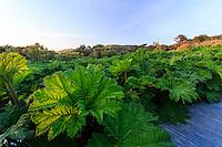 France, Manche (50), Vauville, Jardin botanique du château de Vauville, allée de schiste bordée de gunéras (Gunera manicata) à proximité du grand bassin