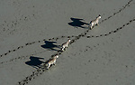"""Pictured:  A family of zebras, with calf in the middle, cross the barren ground of Botswana's Makgadikgadi Salt Pans searching for sustenance.    <br /> <br /> Professional wildlife photographer Greg du Toit, 41, from Johannesburg in South Africa was flying in a chartered helicopter on a private safari when he captured this zebra and its calf crossing the salt pan together.<br /> <br /> Greg said: """"I had just come from the Okavango Delta which is so dry that underground fires were burning.  The region s facing a severe drought and I was worried at the time I took this picture as the rainy season had come and gone.  It would be another six months at least until more rain would come.""""<br /> <br /> """"In times of drought the baby animals suffer the most as they need to cover great distances between grazing grounds and water.""""  <br /> <br /> Please byline: @gregdutoit/Solent News<br /> <br /> © @gregdutoit/Solent News & Photo Agency<br /> UK +44 (0) 2380 458800"""