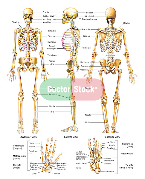 anatomy of the skeletal system | doctor stock full body joint diagram