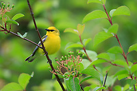 Blue-winged Warbler (Vermivora cyanoptera), male in breeding plumage on his breeding territory in Walkill River State Park, Vernon Township, Sussex, New Jersey.