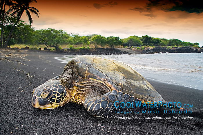 Green Sea Turtle, Chelonia mydas, basking in the sun, Punalu`u Black Sand Beach, Big Island, Hawaii, Pacific Ocean
