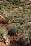 Israel, Upper Galilee, Olive grove by Druze village Ein el Asad