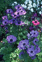 Anemones coronaria 'De Caan Mixture' including blue flowers of Anemone Mr Fokker in spring bloom
