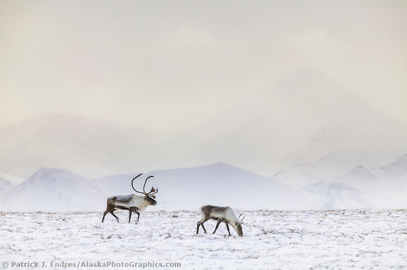 Caribou, Philip Smith Mountains, Brooks Range, Alaska
