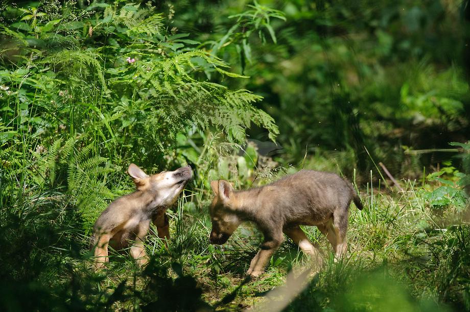 Wolf (Canis lupus) pups in het struikgewas