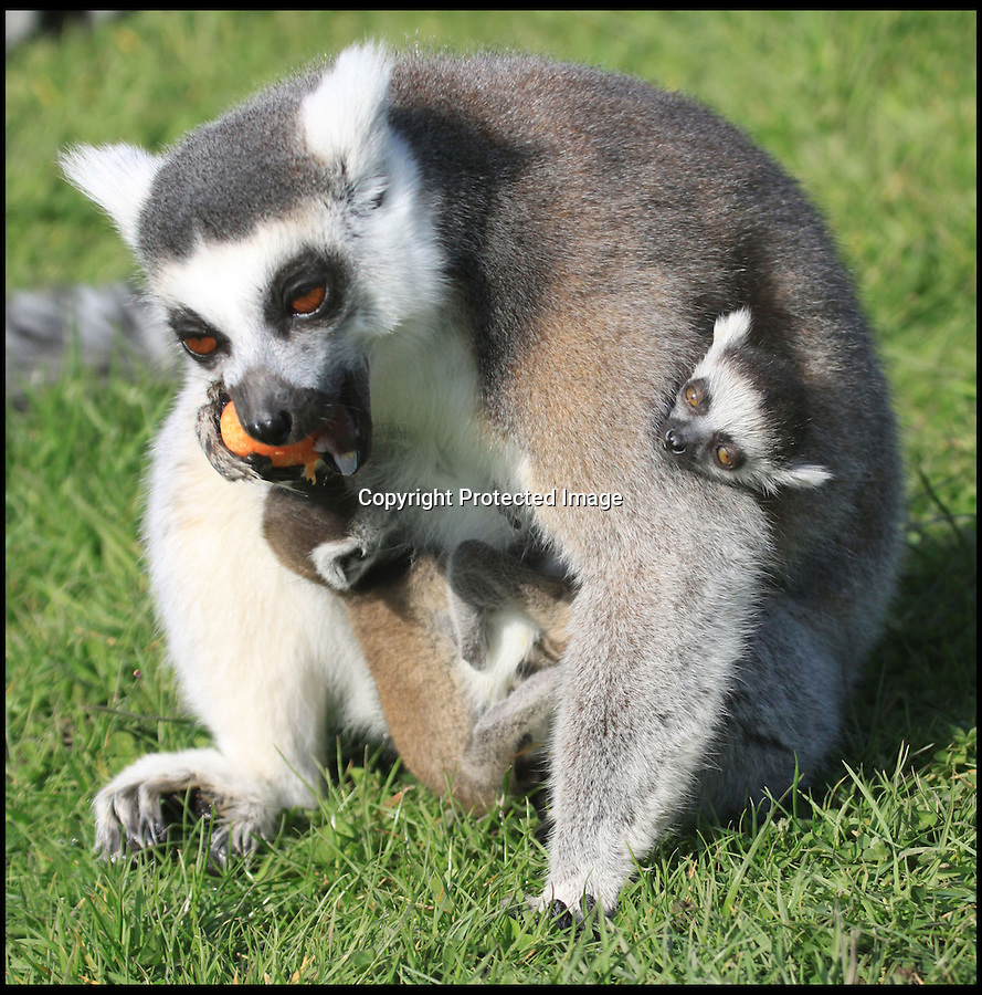 BNPS.co.uk (01202) 558833<br /> Picture: IanTurner/BNPS<br /> <br /> ****Must use full byline****<br /> <br /> Double trouble!<br /> <br /> This is the sweet moment a doting lemur showed off her two newborn twins to the rest of the primates in her troop.<br /> <br /> Just days after giving birth protective mum Hasina was spotted relaxing on a grassy patch holding her pair of pups.<br /> <br /> The babies clung tightly to her chest as several members of the group wandered over to have a good look at the new arrivals.<br /> <br /> Hasina looked proud as punch as the other ringtailed lemurs peered on in amazement and she even bent down to give one of the cubs a kiss.<br /> <br /> The week old twins weigh around 2.4 oz each and are the latest additions to the enclosure at Longleat Safari Park in Wiltshire to Hasina and dad, Julien.