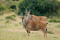 A Red-billed Oxpecker, Buphagus erythrorhynchus, perches on the back of an East African Eland, Taurotragus oryx pattersonianus, in Maasai Mara National Reserve, Kenya
