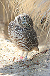 FB-S160  Front photo for 4x6 postcard.  Burrowing Owl. Vertical.  Remove 2 bands on legs.