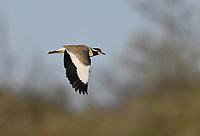 Black-headed Lapwing - Vanellus tectus