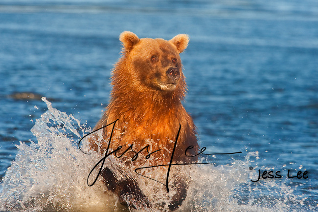 A photo of a coastal brown bear running through the water after salmon. Grizzly Bear or brown bear alaska Alaska Brown bears also known as Costal Grizzlies or grizzly bears