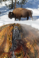 A bison walks above the thermal feature known as Chocolate Pot in the Yellowstone interior.