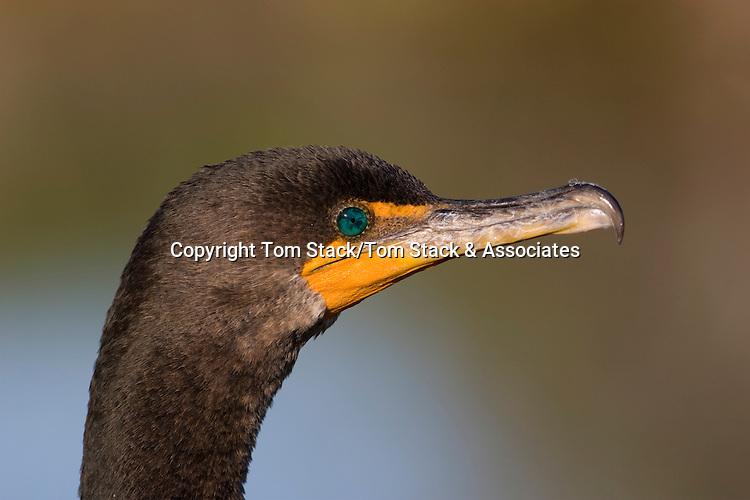 Double-crested Cormorant (Phalacrocorax auritus) Everglades National Park, Florida